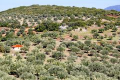Olive grove in Kalamata, Greece royalty free stock images
