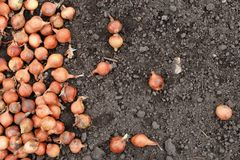 Small onions for planting royalty free stock photos