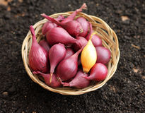 Small onions in wicker basket Royalty Free Stock Photography