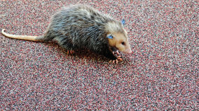 Small Opossum. Young opossum walking on an outdoor carpet Stock Photo