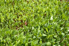 Small orache plants Stock Image