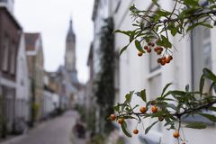 Small orange berries growing in the Trompetstraat with a view of the Nieuwe Kerk, New Church stock photos
