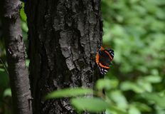 Orange and black butterfly on tree trunk. Small orange and black butterfly on a ruff tree trunk in summer with a blurred background Stock Images