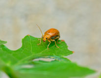 Small orange bug standing on green leaf Royalty Free Stock Photography