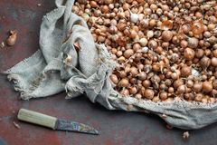 Small orange bulbs for planting. In rough bag Stock Image