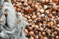 Small orange bulbs for planting. In rough bag Stock Images