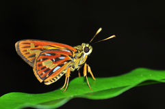 Small orange butterfly Royalty Free Stock Image