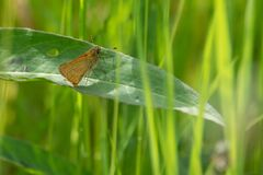 small orange butterfly brown bullhead butterfly sitting on a leaf