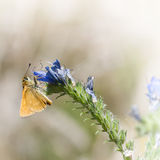 Small orange butterfly eats on the flower Royalty Free Stock Image