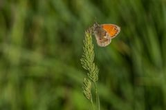 Small orange butterfly on grass, blurry background. A small orange and brown butterfly with a black dot, a small heath, sitting on a top of grass. Sunny summer royalty free stock photography