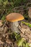 Small orange-cap boletus Stock Photos