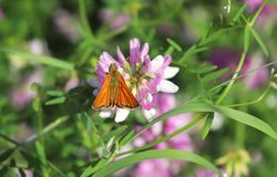 Small orange colored butterfly sitting on a pink blossom. Small orange colored skipper butterfly sitting on a pink crown vetch blossom stock photography