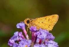 Small orange Fiery Skipper butterfly covered in dew drops on an early fall morning. Resting on a purple Buddleia flower royalty free stock image