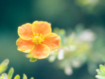 Small orange flower. On green background royalty free stock image
