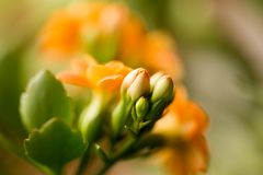 A small orange flower as a background. Macro Royalty Free Stock Image