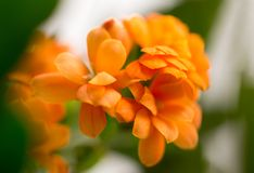 A small orange flower as a background. Macro Stock Photo