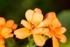 A small orange flower as a background. Macro Stock Photos