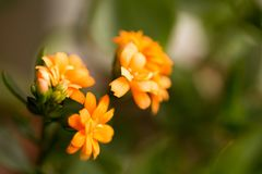 A small orange flower as a background. Macro Stock Photography