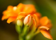 A small orange flower as a background. Macro Stock Image