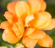 A small orange flower as a background. Macro Royalty Free Stock Photos