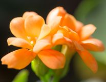 A small orange flower as a background. Macro Royalty Free Stock Images