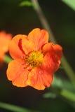 Small orange flower Stock Image