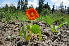 Small orange flower in a field stock image