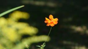 Small orange flower in a light breeze stock video footage