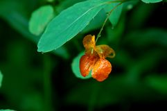 A small orange flower under a green leaf royalty free stock image