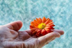 A small orange flower in a woman`s hand royalty free stock photography