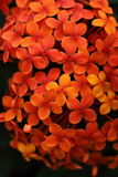 Small orange flowers Stock Image