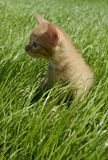 Small orange fluffy kitten looks attentively to the side, sits in a thick beautiful green juicy grass in a summer day. A small orange fluffy kitten looks stock photos