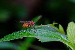 Small orange fly, perched on a leaf. Photographed with a dark background Royalty Free Stock Photo