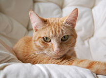 Small Orange Friend. Small orange kitty sitting relaxed on a white cushion Stock Photos