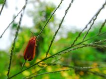 Small orange insects are on green leaves. royalty free stock image