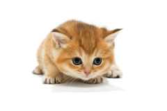 Small orange kitten of the British breed Stock Images