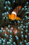 A small orange nemo fish swimming through its light green anemone fish Stock Photos