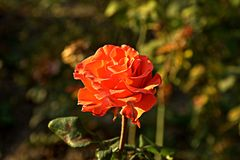 Small orange rose. Flower on the bush in the autumnal garden flowerbed stock photo
