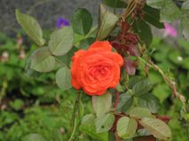 Small orange rose. Flower on the bush in the autumnal garden flowerbed royalty free stock images