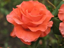 Small orange rose. Flower on the bush in the autumnal garden flowerbed royalty free stock photos
