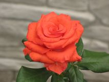 Small orange rose. Flower on the bush in the autumnal garden flowerbed royalty free stock photography