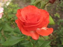 Small orange rose flower. On the bush in the autumnal garden flowerbed stock photos