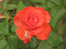 Small orange rose flower. On the bush in the autumnal garden flowerbed royalty free stock images
