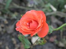 Small orange rose flower. On the bush in the autumnal garden flowerbed stock images