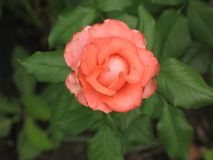 Small orange rose flower. On the bush in the autumnal garden flowerbed stock photo