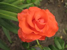 Small orange rose flower. On the bush in the autumnal garden flowerbed stock image