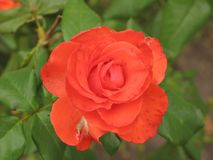 Small orange rose flower. On the bush in the autumnal garden flowerbed royalty free stock photo