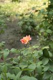 Small orange rose. Flower on the bush in the autumnal garden flowerbed, vertical shot royalty free stock photos