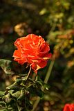 Small orange rose. Flower on the bush in the autumnal garden flowerbed, vertical shot royalty free stock photo