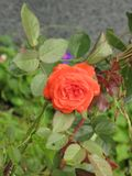 Small orange rose. Flower on the bush in the autumnal garden flowerbed, vertical shot royalty free stock images